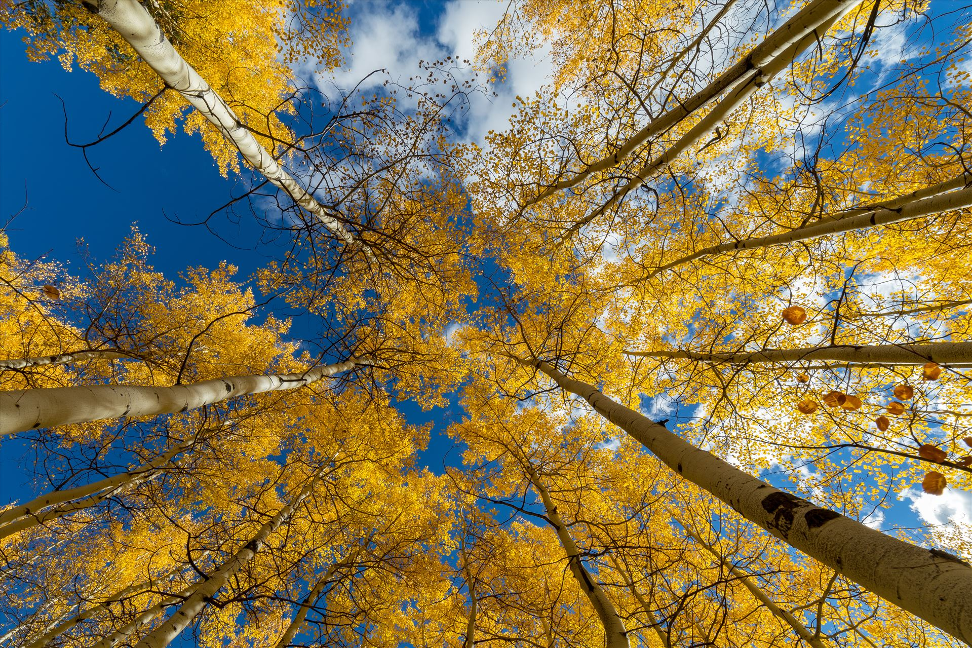 Aspens to the Sky No 3 - Aspens reaching skyward in Fall. Taken near Maroon Creek Drive near Aspen, Colorado. by D Scott Smith