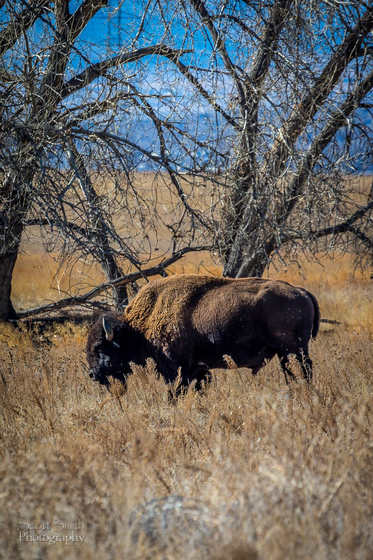 Bison - A bison at the Rocky Mountain Arsenal Wildlife Refuge.. by D Scott Smith