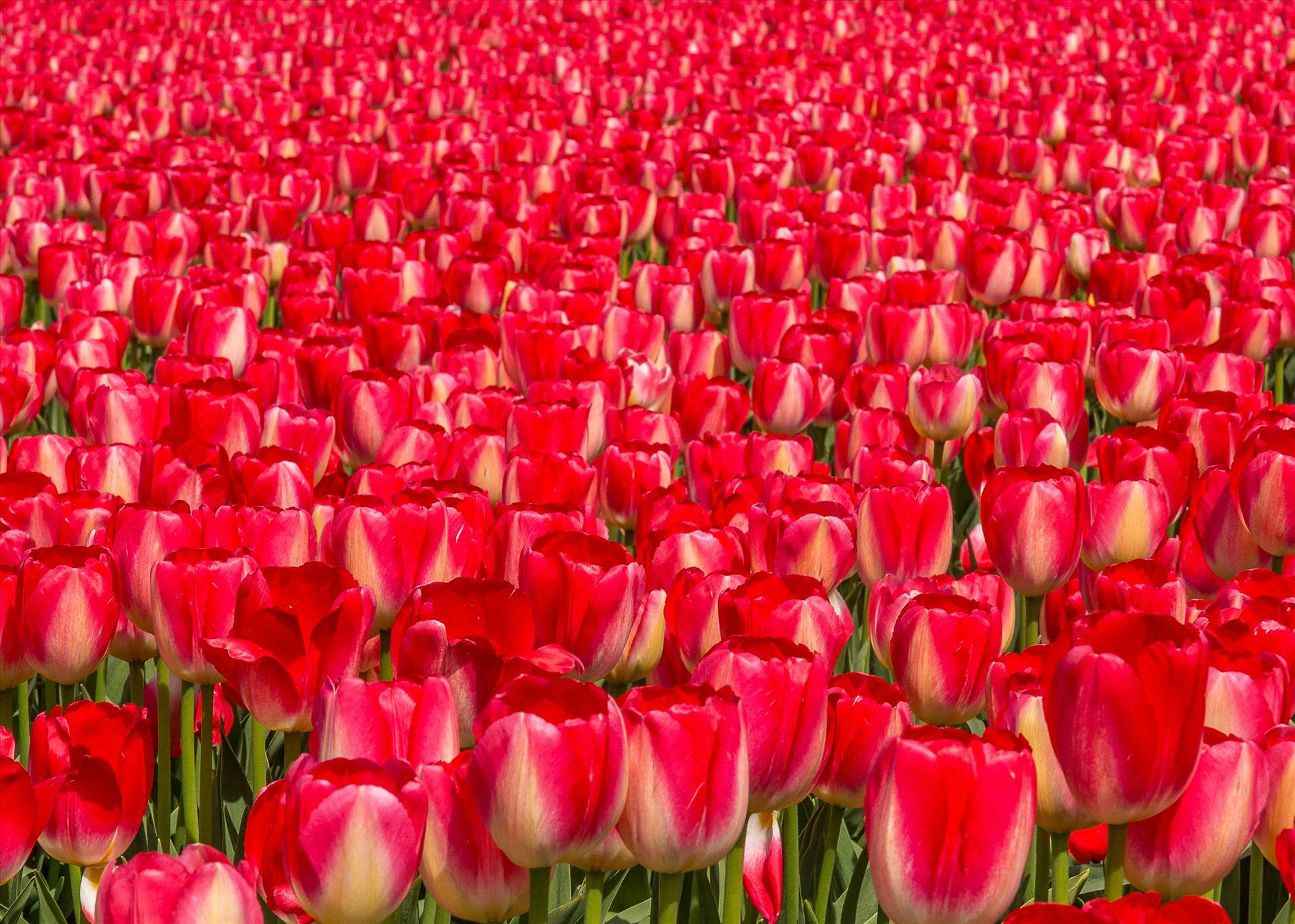 Tulips, Tulips, Tulips - From the 2012 Skagit County Tulip Festival in Washington. by D Scott Smith