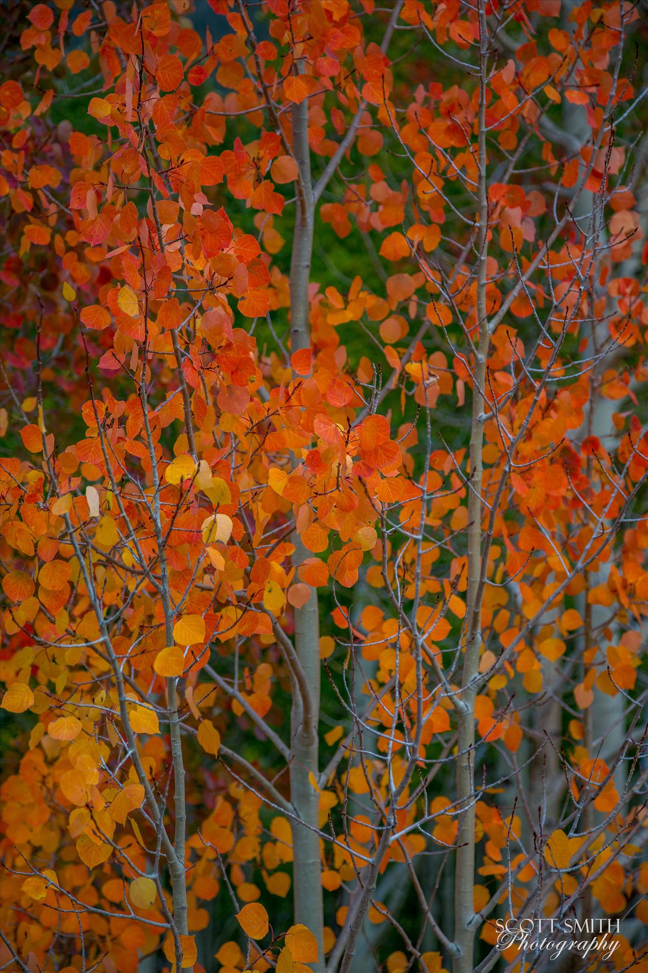 Red Aspen Detail - Red aspen leaves from Last Dollar Road, outside of Telluride, Colorado in the fall. by D Scott Smith
