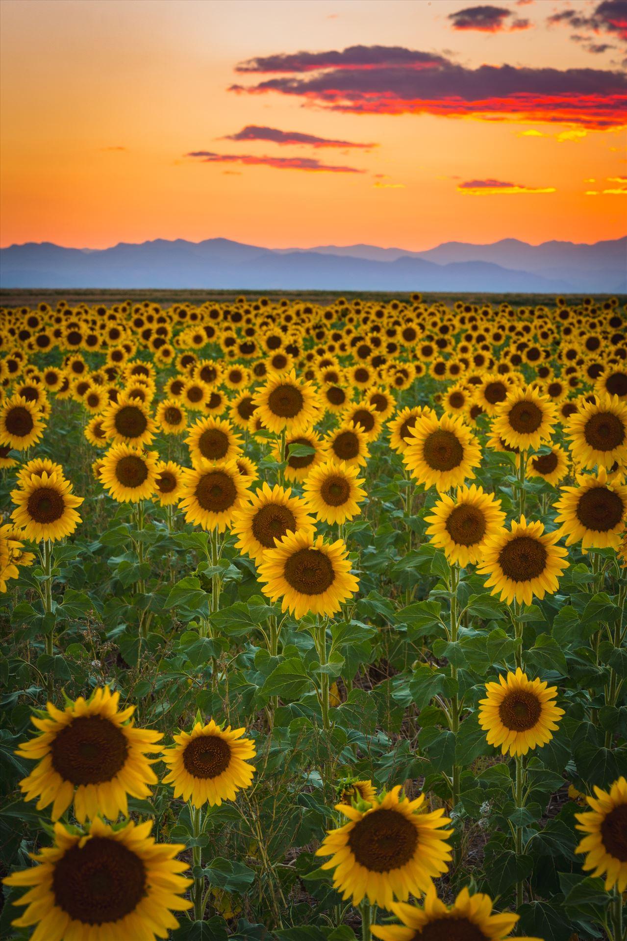 Denver Sunflowers at Sunset No 2 - Sunflower fields near Denver International Airport, on August 20th, 2016. Near 56th and E470. by D Scott Smith