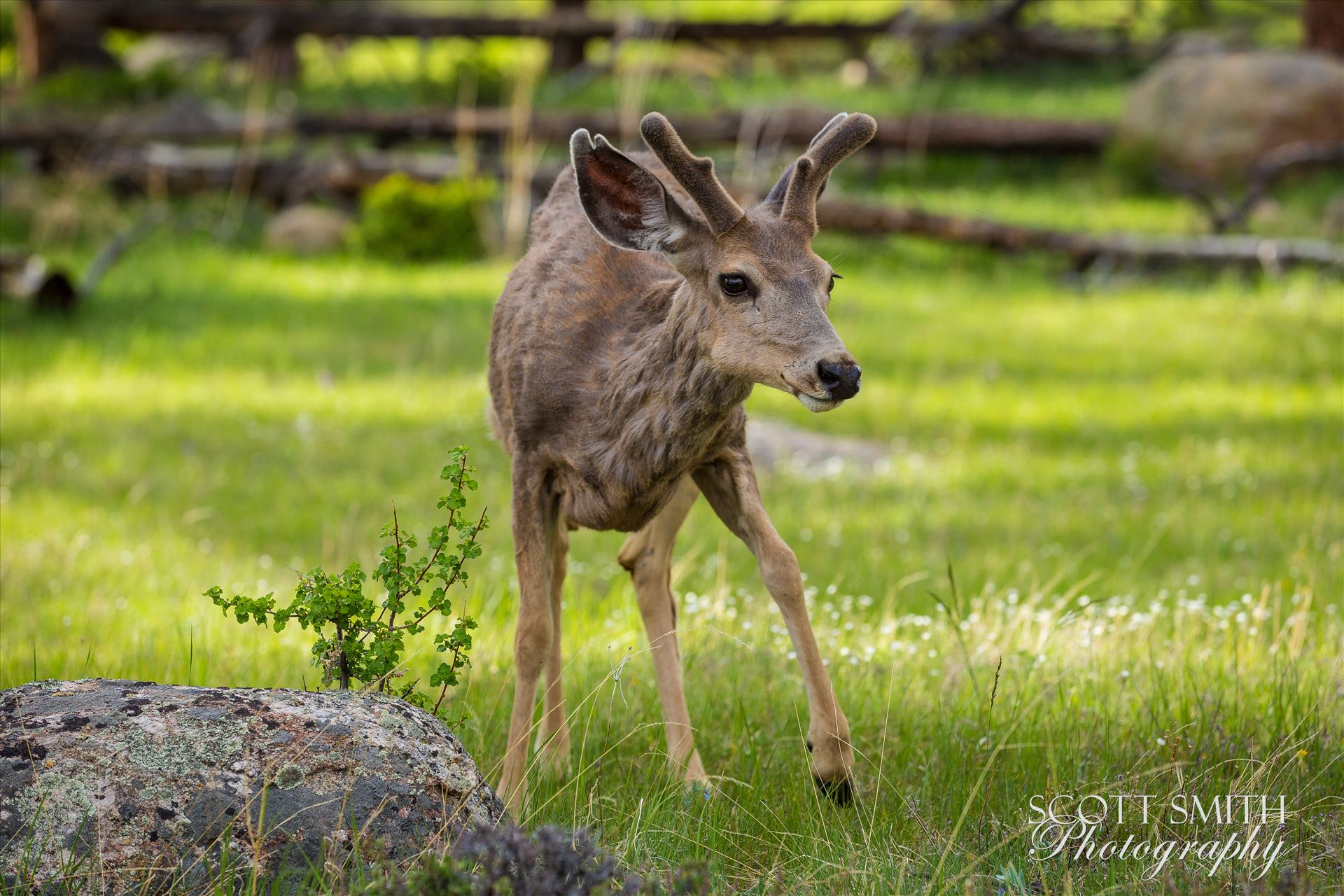 Rocky Mountain National Park Deer 2 -  by D Scott Smith