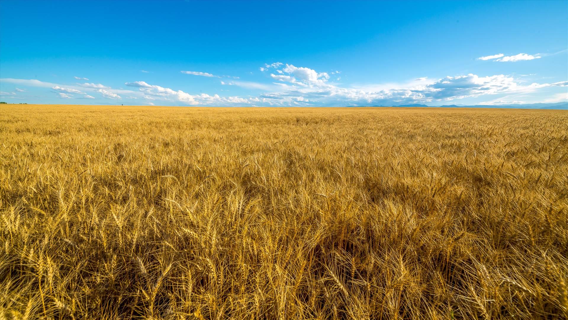 Wheat Field - A field of wheat in late summer near Longmont, Colorado. by D Scott Smith