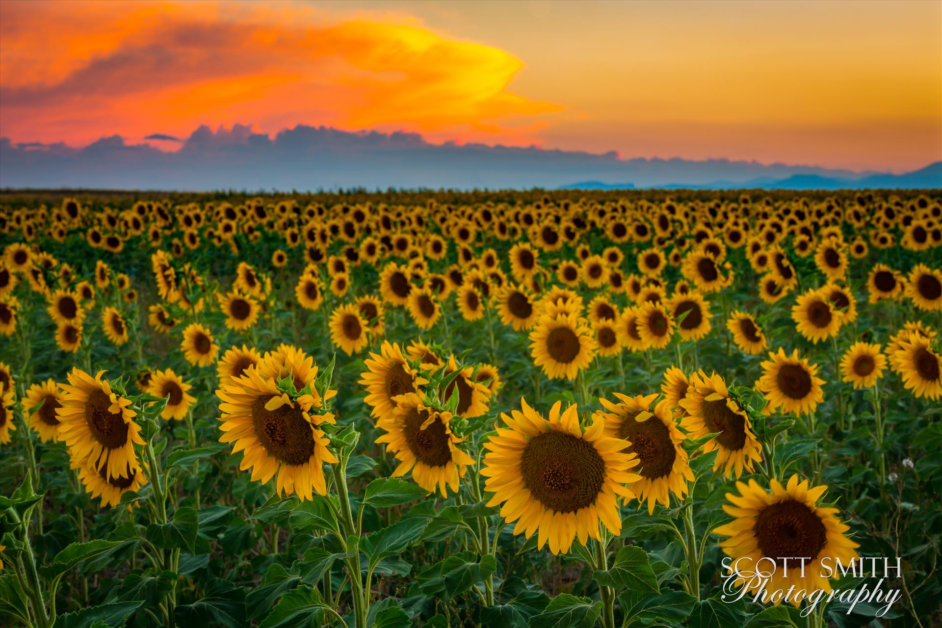 Denver Sunflowers at Sunset No 3 - Sunflower fields near Denver International Airport, on August 20th, 2016. Near 56th and E470. by D Scott Smith