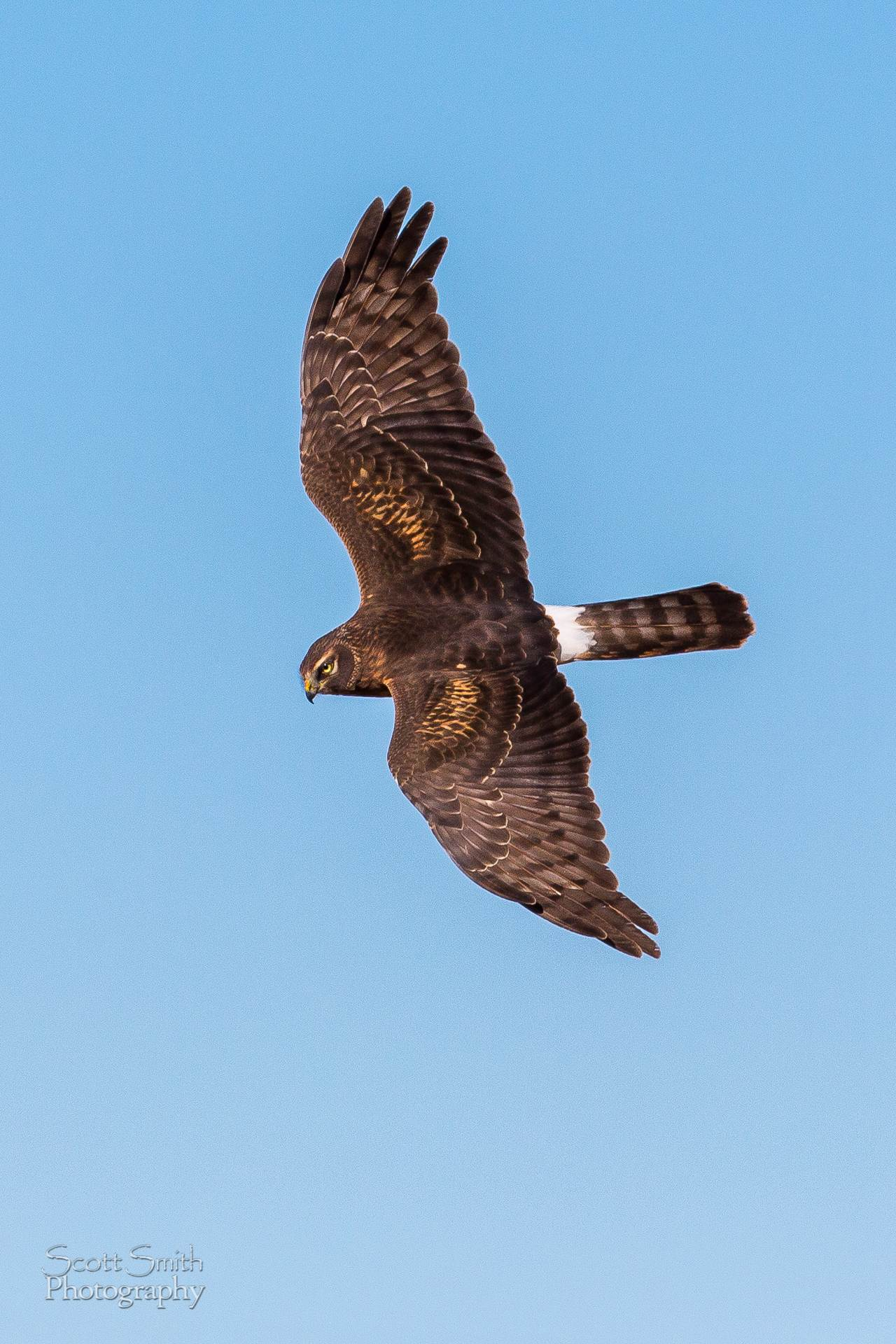 Marsh Hawk II - A marsh hawk soaring over the grasslands at the Rocky Mountain Arsenal Wildlife Refuge. by D Scott Smith