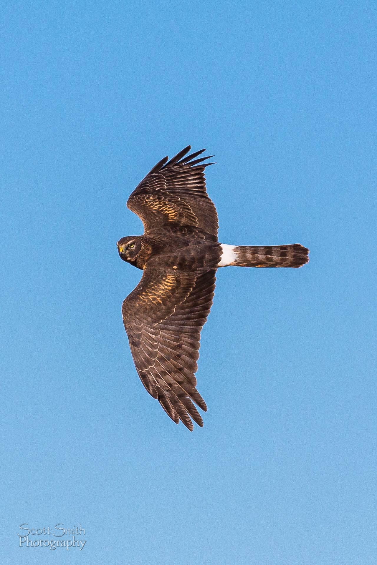Marsh Hawk - Marsh hawk at the Rocky Mountain Arsenal Wildlife Refuge. by D Scott Smith