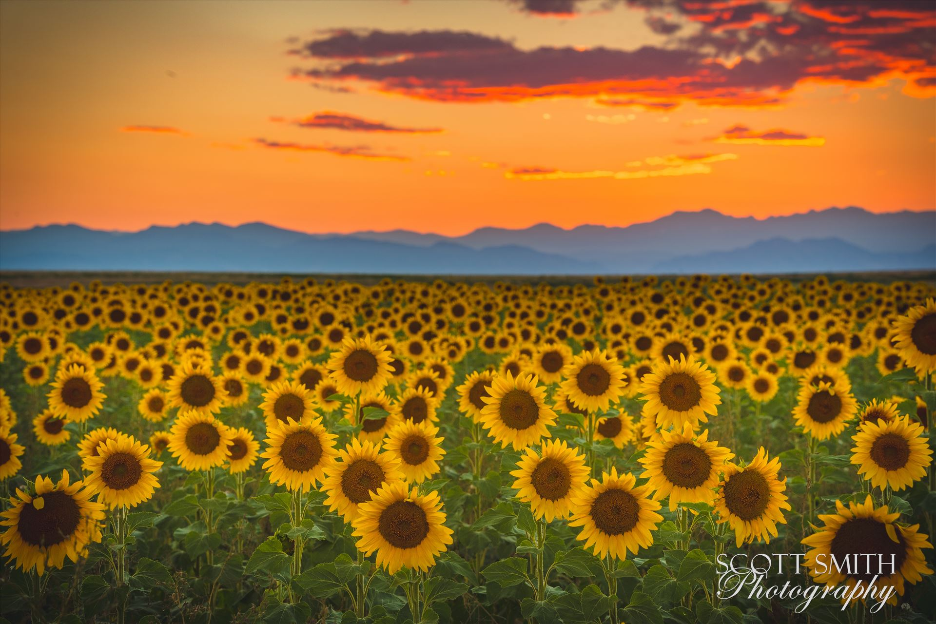 Denver Sunflowers at Sunset No 1 - Sunflower fields near Denver International Airport, on August 20th, 2016.Near 56th and E470. by D Scott Smith