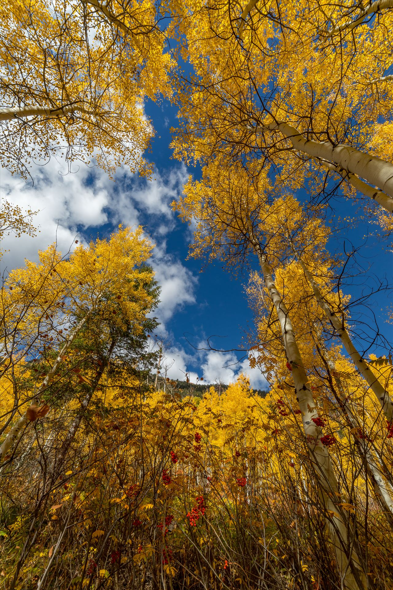 Aspens to the Sky No 2 - Aspens and wild berries in Fall. Taken near Maroon Creek Drive near Aspen, Colorado. by D Scott Smith