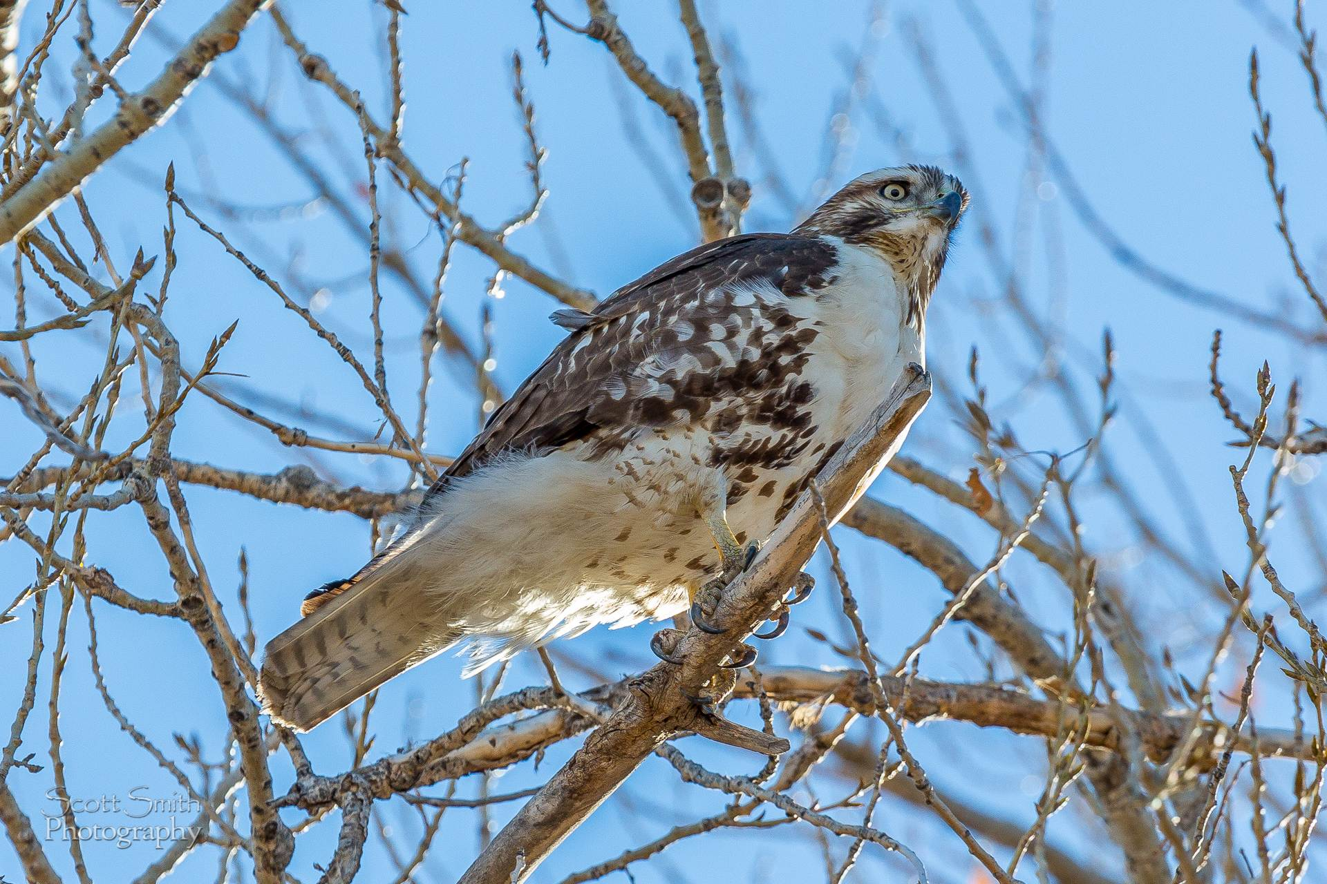 Swainson's Hawk 2 - A Swainson's Hawk enjoying the view at the Rocky Mountain Arsenal Wildlife Refuge. by D Scott Smith