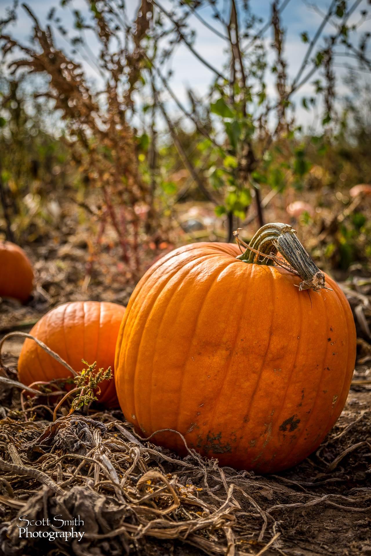 Pumpkins 2 - Anderson Farms, Erie Colorado. by D Scott Smith