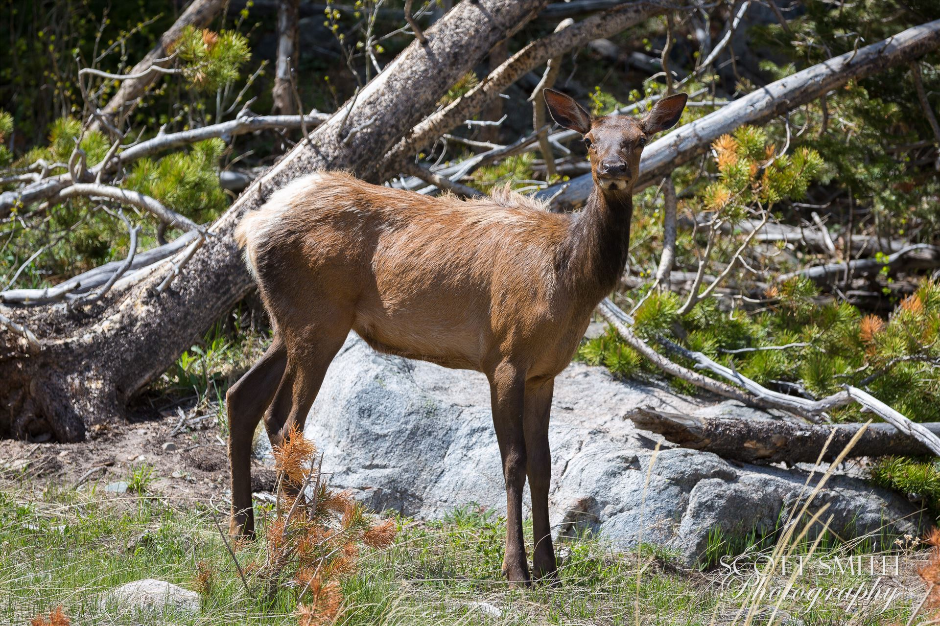 Young Elk -  by D Scott Smith