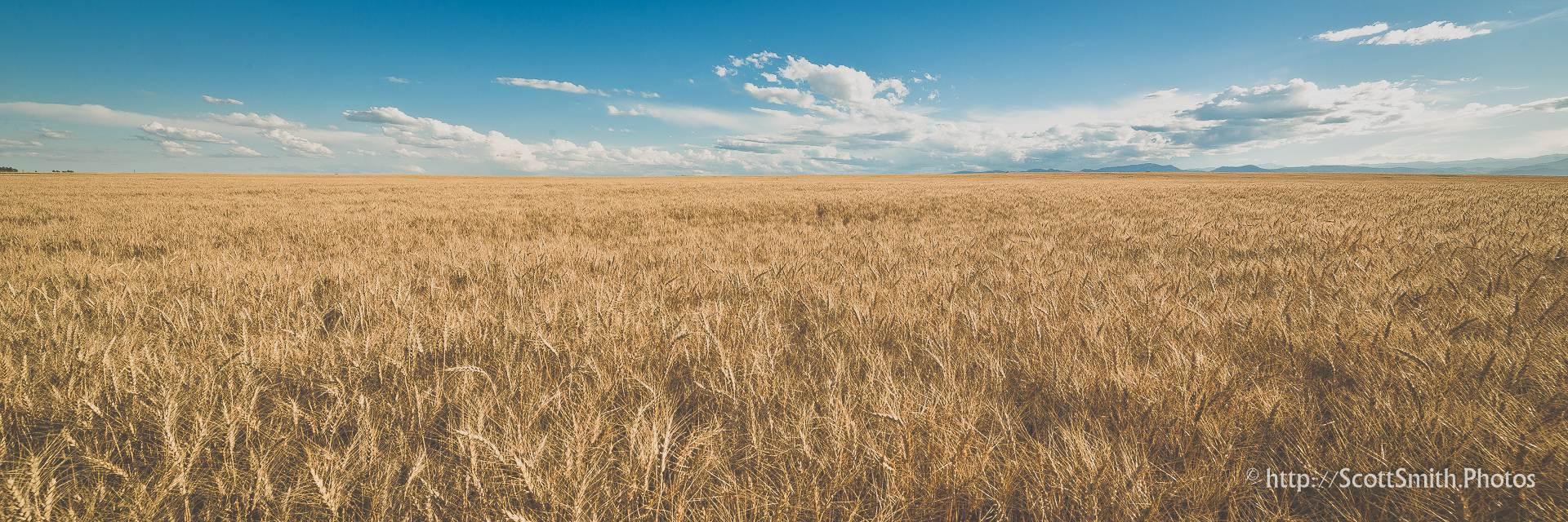 Fields of Wheat - A wheat field off of highway 52 near Longmont, Colorado in early summer. by D Scott Smith