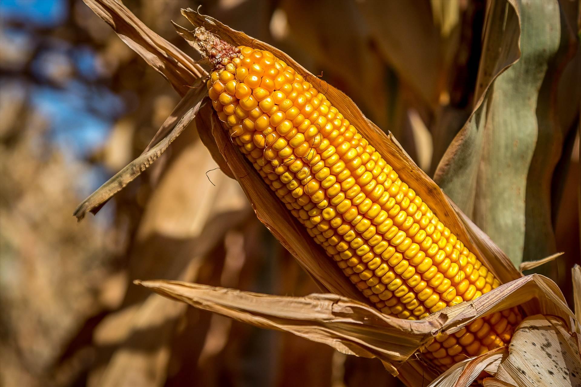 Corn 2 -  by D Scott Smith