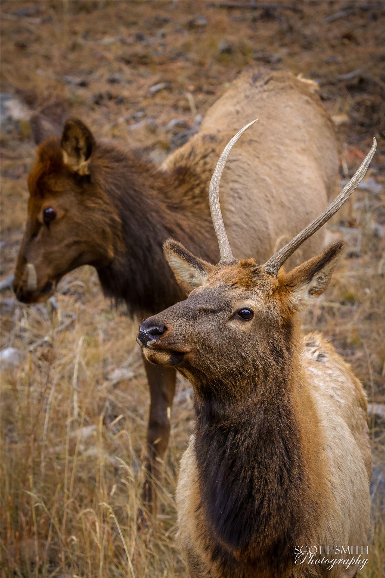 Sunday Elk No 09 - A heard of Elk near the entrance to Rocky Mountain National Park, Estes Park, Colorado. by D Scott Smith