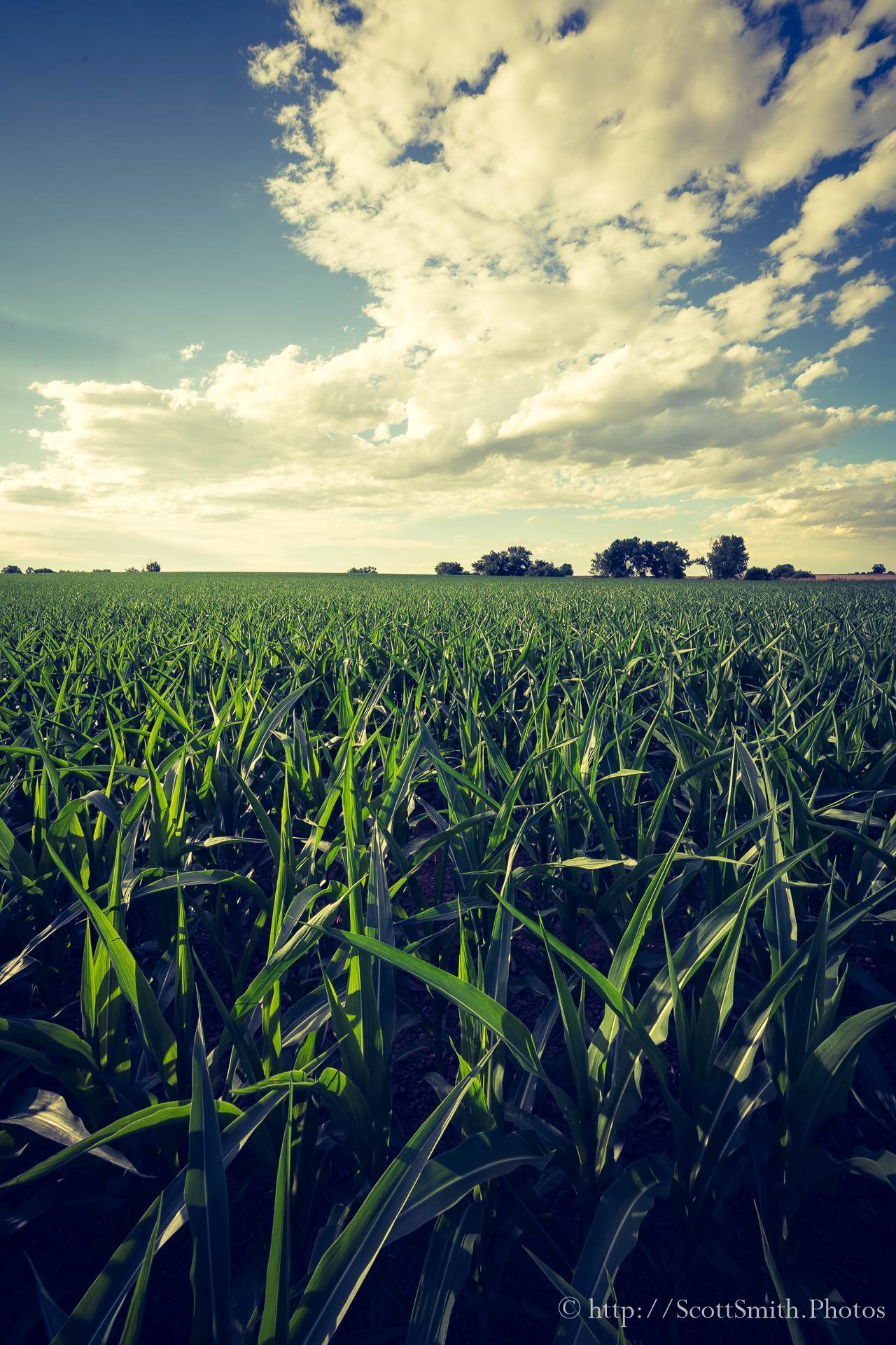 Summer Corn Crop - A large cornfield, about waist-high, growing near Longmont, Colorado off Highway 52. by D Scott Smith