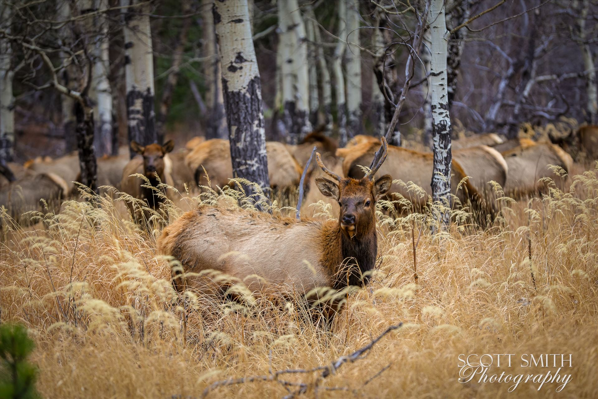 Sunday Elk No 01 - A heard of Elk near the entrance to Rocky Mountain National Park, Estes Park, Colorado. by D Scott Smith
