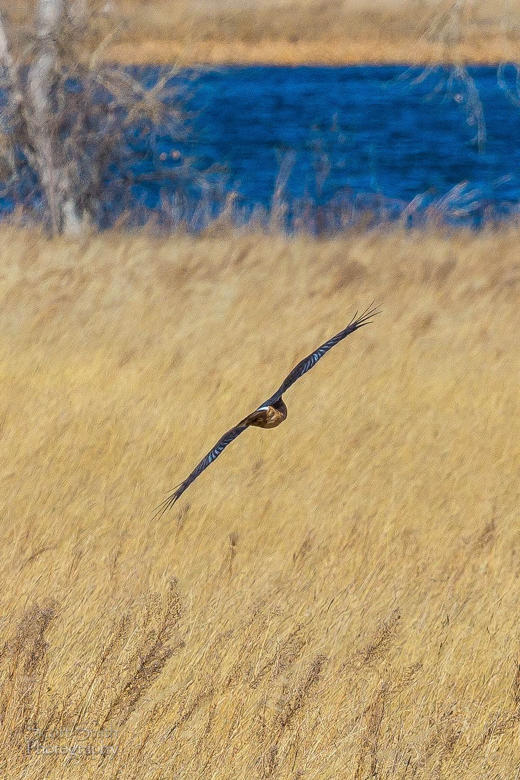 Marsh Hawk 3  - A marsh hawk glides over the grass at the Rocky Mountain Arsenal Wildlife Refuge. by D Scott Smith
