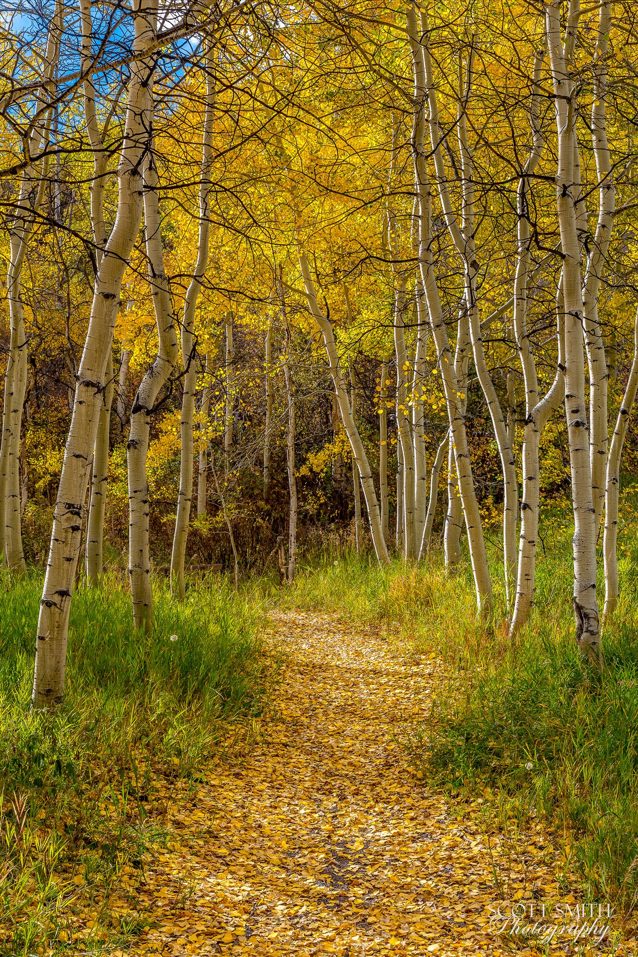 Rim Trail Aspens - Beautiful aspens showing their fall colors along Rim Trail in Snowmass by D Scott Smith