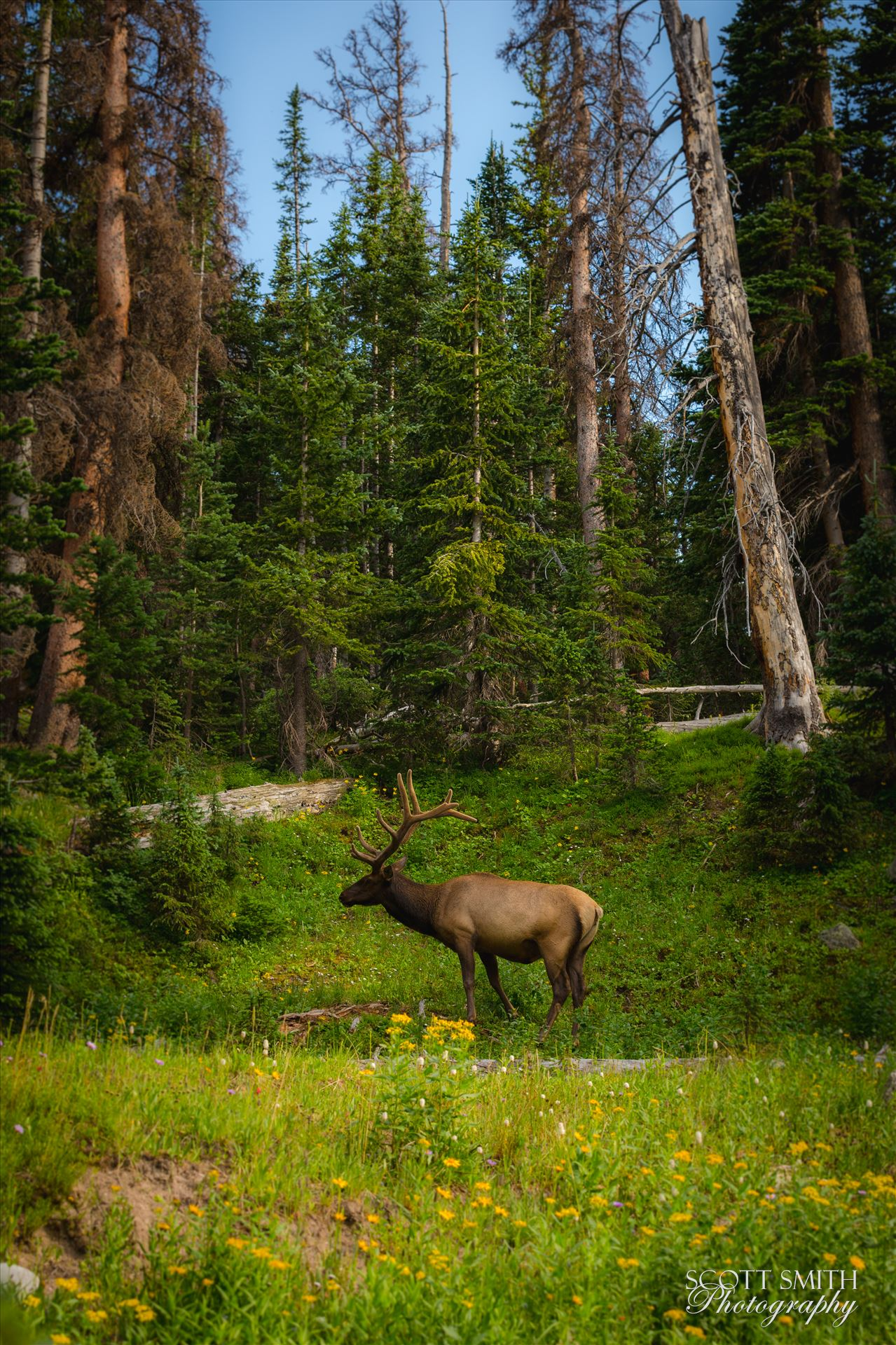 Elk in the Wild - A fairytale setting in Rocky Mountain National Park, just off Trail Ridge Road. A fully grown elk buck grazes on the lush growth. by D Scott Smith