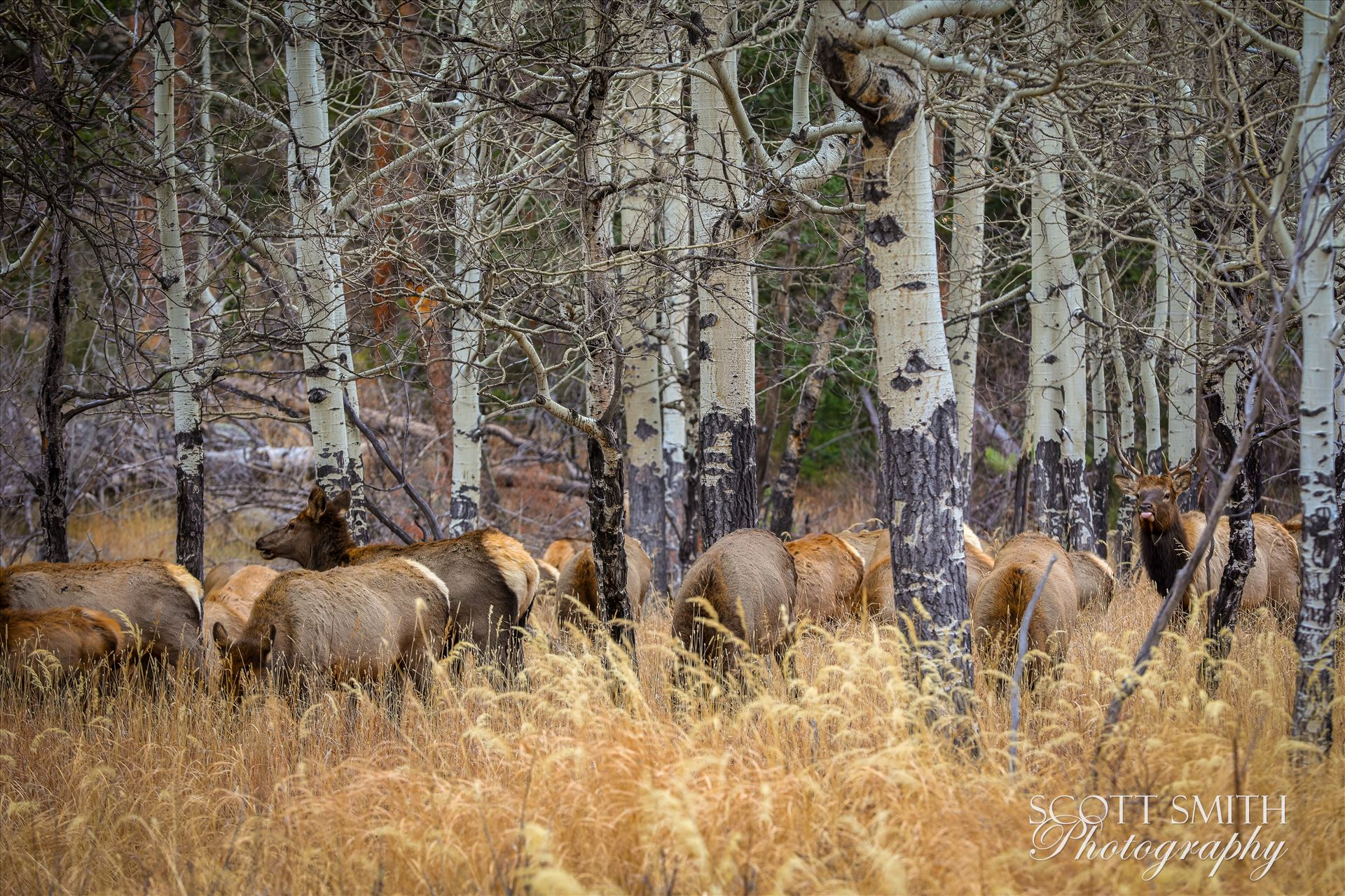 Sunday Elk No 03 - A heard of Elk near the entrance to Rocky Mountain National Park, Estes Park, Colorado. by D Scott Smith