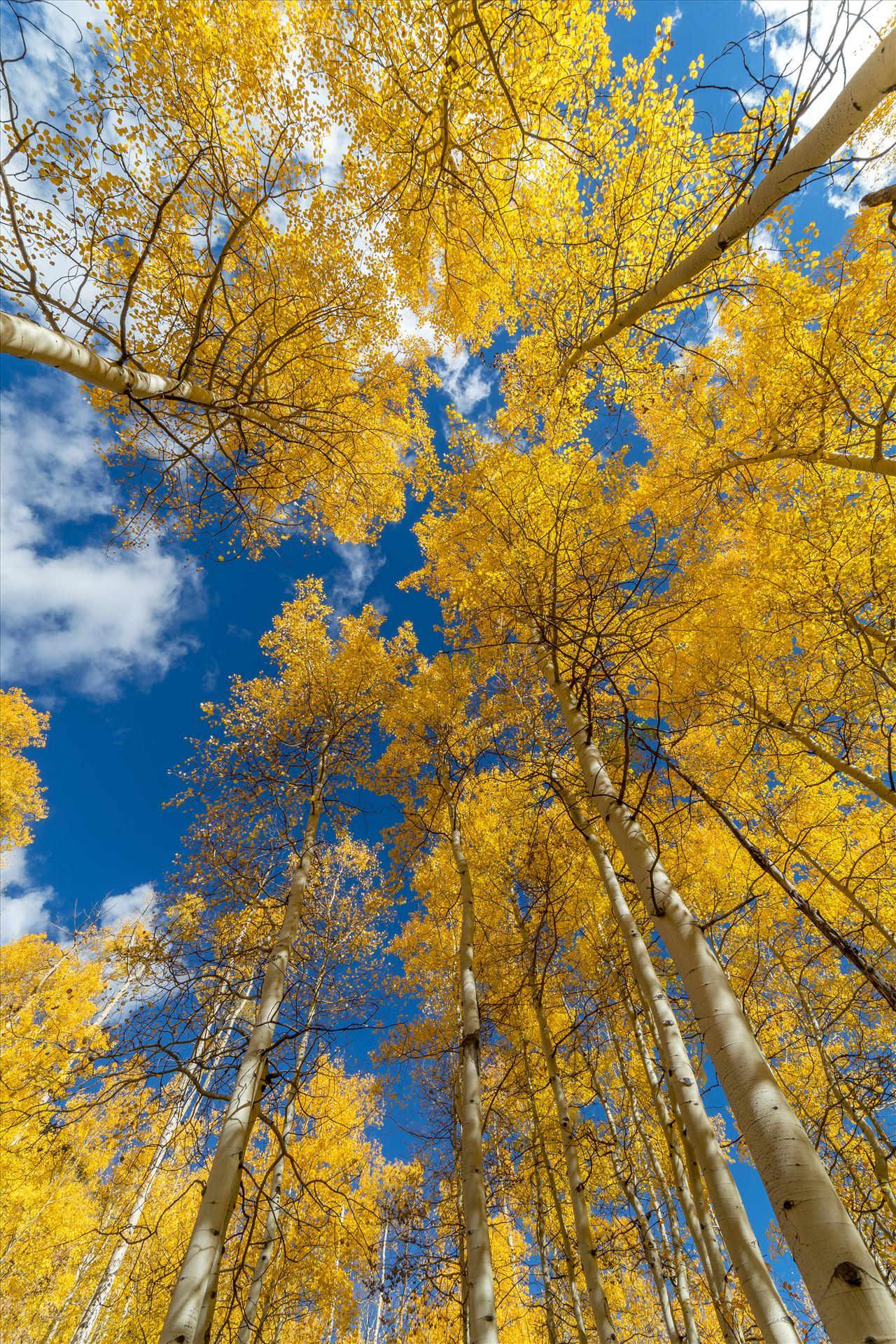 Aspens to the Sky No 1 - Aspens reaching skyward in Fall. Taken near Maroon Creek Drive near Aspen, Colorado. by D Scott Smith