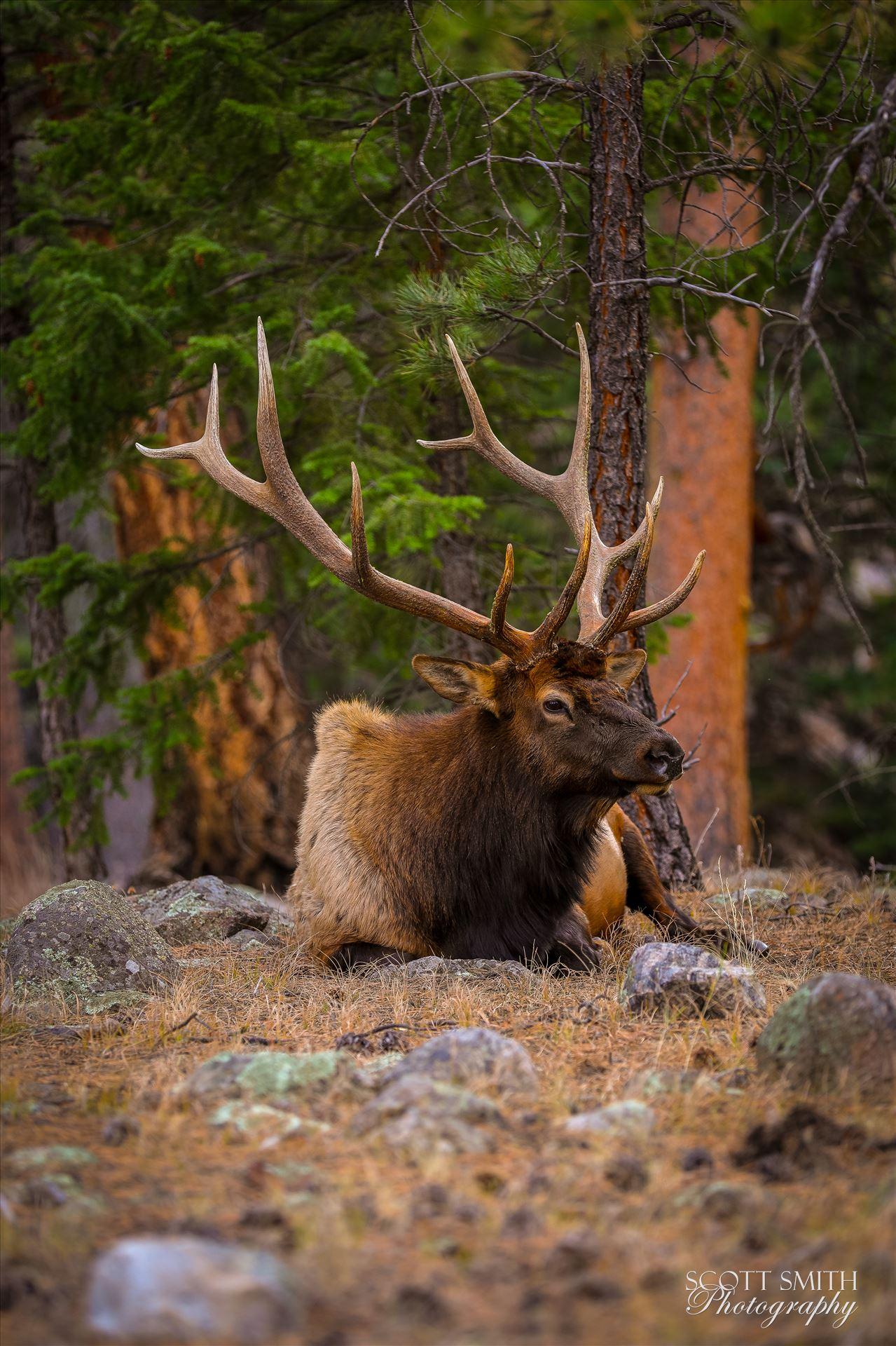 Sunday Elk No 06 - A heard of Elk near the entrance to Rocky Mountain National Park, Estes Park, Colorado. by D Scott Smith