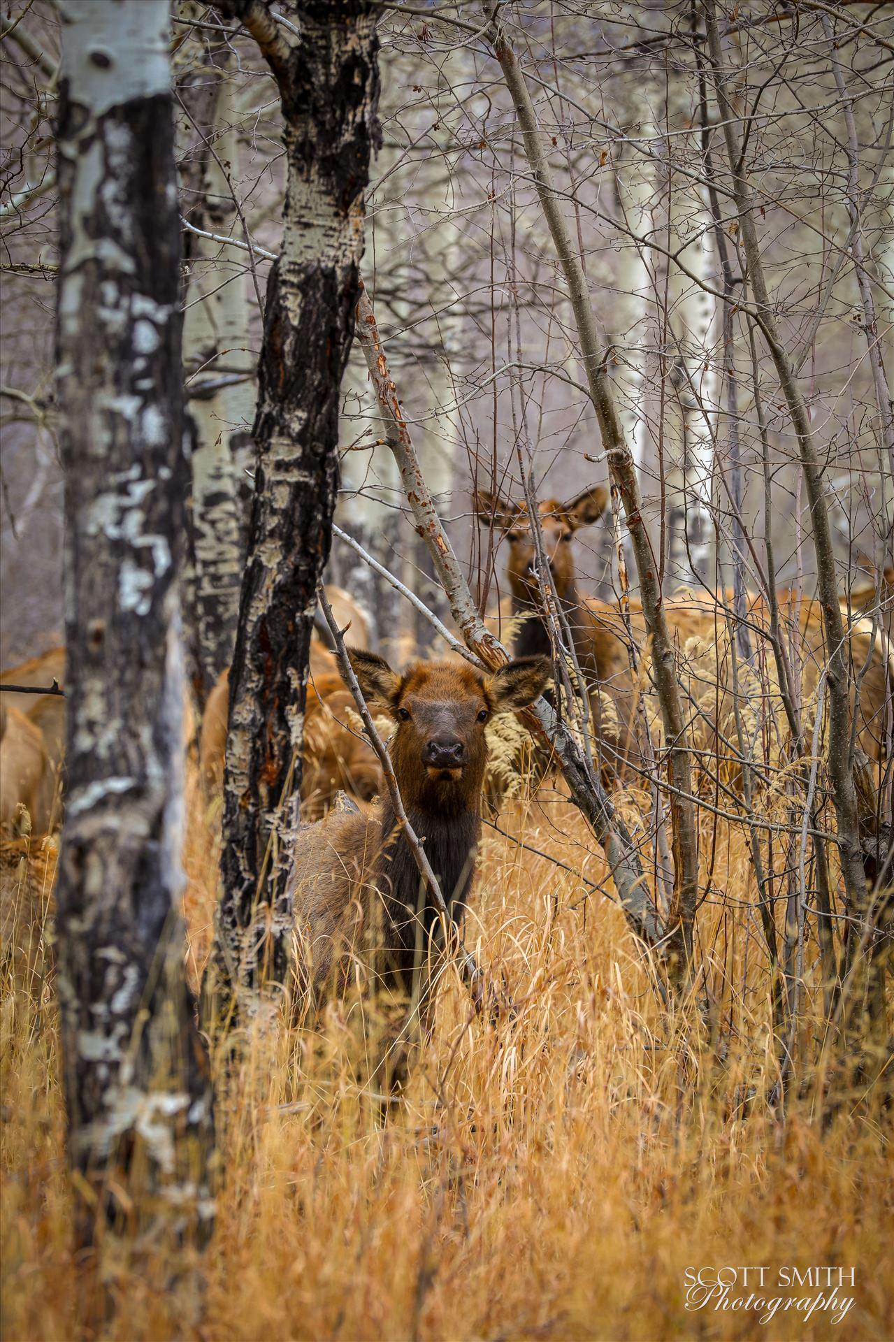 Sunday Elk No 02 - A heard of Elk near the entrance to Rocky Mountain National Park, Estes Park, Colorado. by D Scott Smith