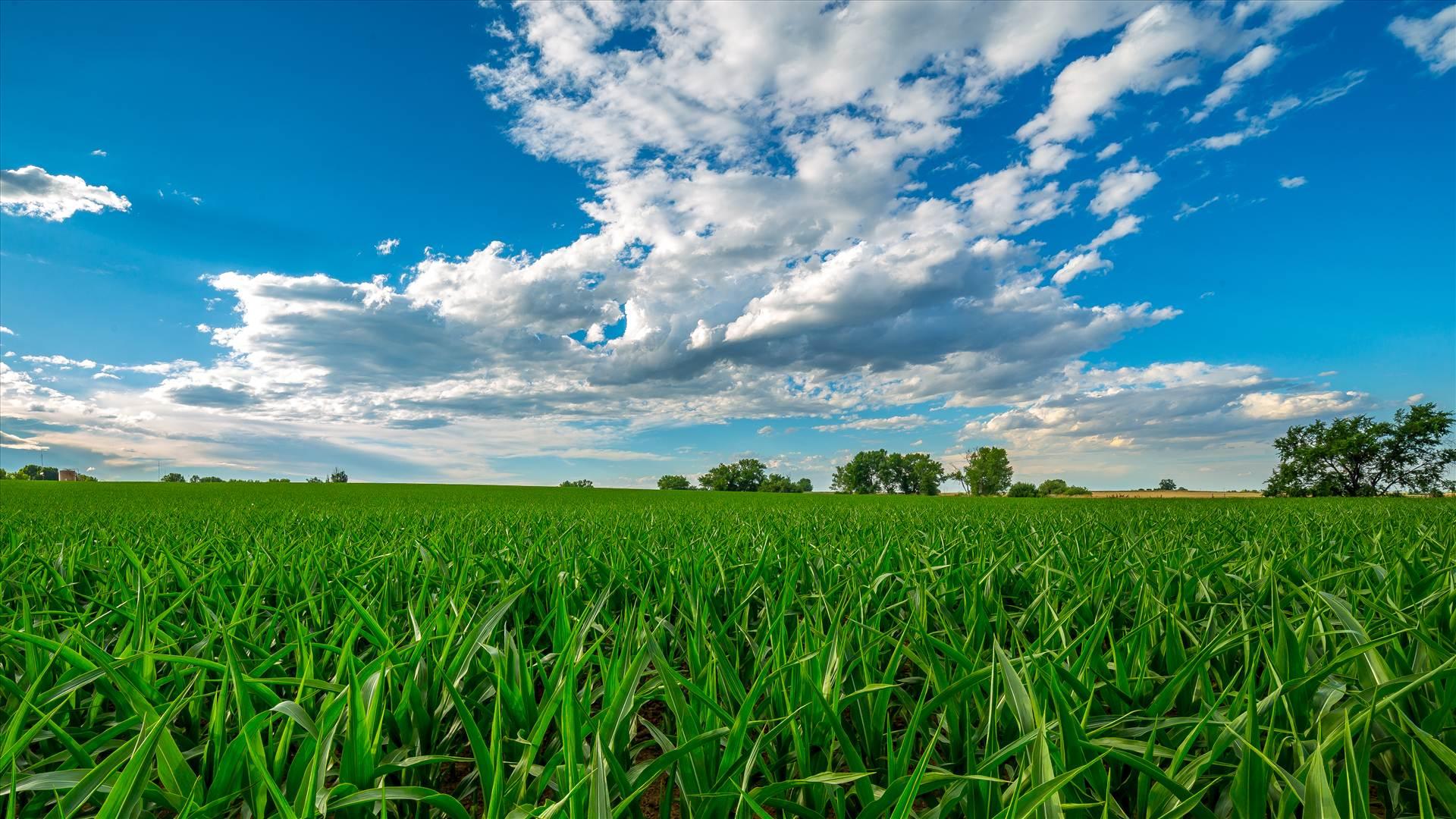Summer Fields II - Corn fields near Longmont, Colorado by D Scott Smith