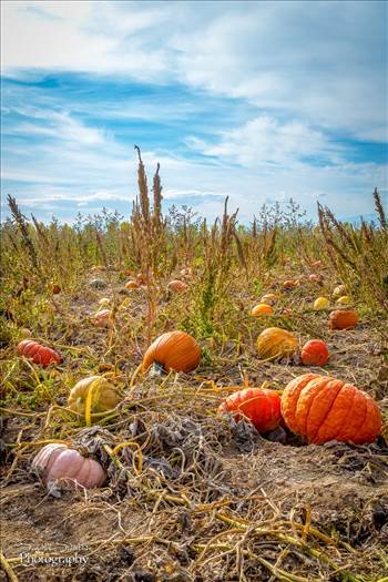 Pumpkins 3 by D Scott Smith