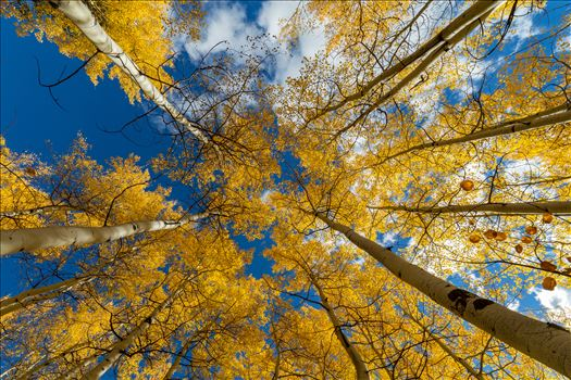 Aspens to the Sky No 3 by D Scott Smith