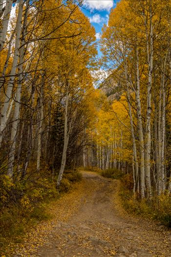 Aspens close in a canopy over Road #3, near Crystal Colorado.