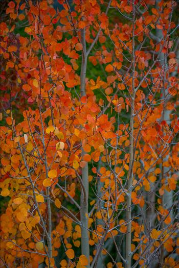 Red Aspen Detail - Red aspen leaves from Last Dollar Road, outside of Telluride, Colorado in the fall.