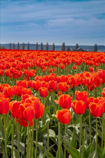 Standing Tall - From the 2012 Skagit County Tulip Festival.