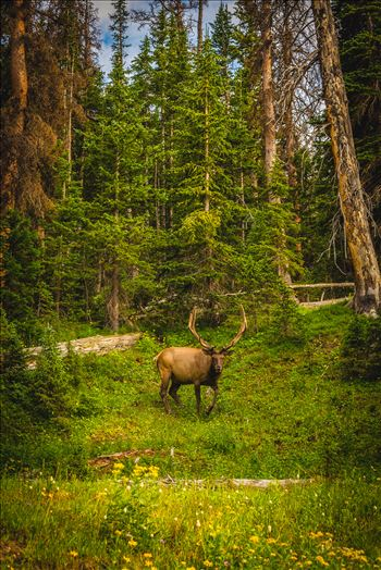 A large buck enjoying a summer day in the Rocky Mountain National Park.