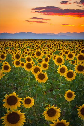 Denver Sunflowers at Sunset No 2 by D Scott Smith