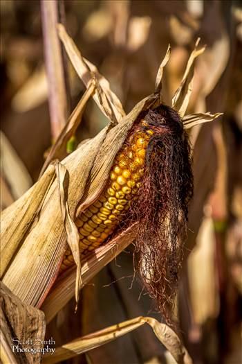 Corn 1 - Anderson Farms, Erie Colorado.