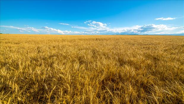 Wheat Field - A field of wheat in late summer near Longmont, Colorado.