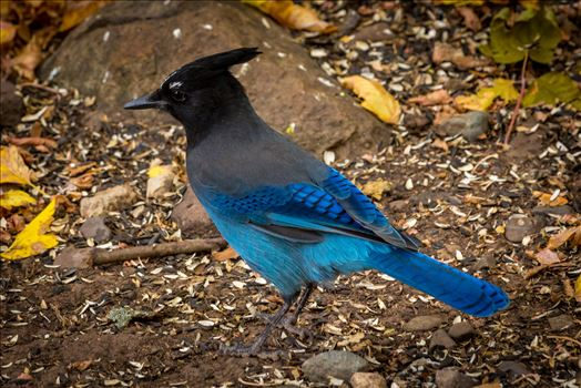 Steller's Jay by D Scott Smith