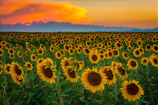 Denver Sunflowers at Sunset No 3 - Sunflower fields near Denver International Airport, on August 20th, 2016. Near 56th and E470.