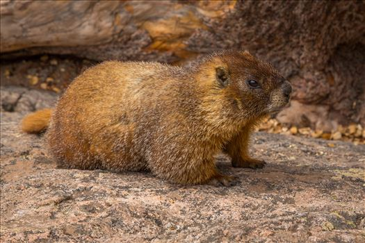 Marmot by D Scott Smith