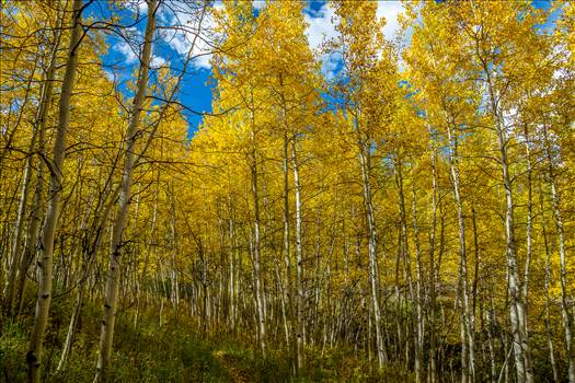 Snowmass Aspens on Rim Trail by D Scott Smith