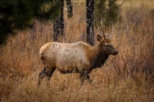 Sunday Elk No 04 by D Scott Smith