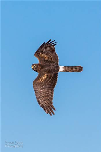 Marsh Hawk by D Scott Smith