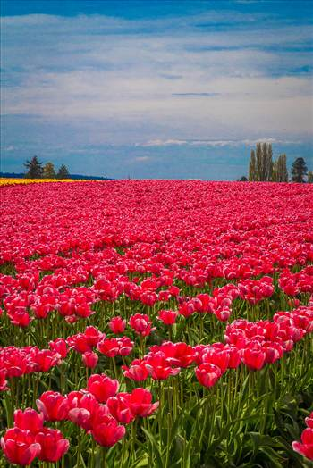 Tulips 2 - From the Skagit County Tulip Festival, 2012.