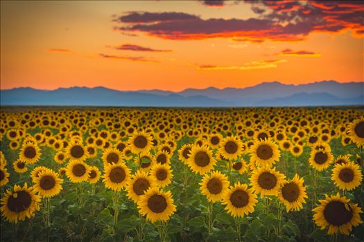 Denver Sunflowers at Sunset No 1 by D Scott Smith