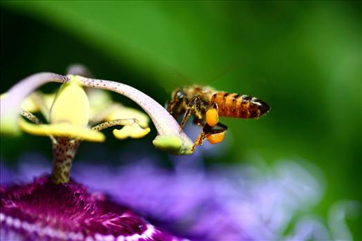 Pollen -