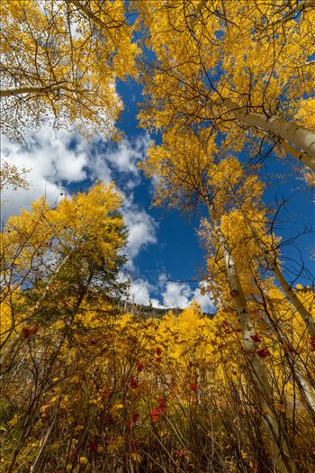 Aspens to the Sky No 2 by D Scott Smith