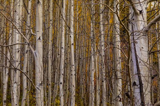 Simple Aspens - A dense grove of aspens near Marble, Colorado, in the fall.