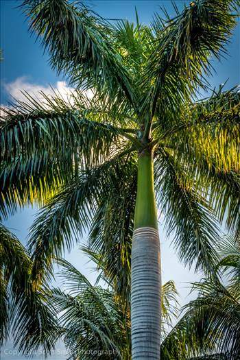 Golden Hour Palm Tree by D Scott Smith
