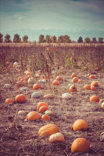 Pumpkin Patch by D Scott Smith